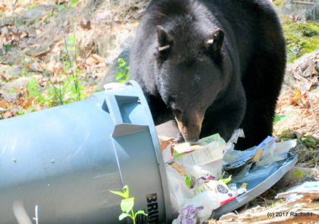 Image of bear eating out of trashcan